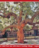 062_Neem Tree_16 x 24